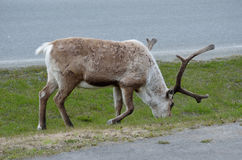 Reindeer grazing on road side royalty free stock photography