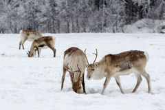 Reindeer. Group of reindeer grazing in a snow covered field Royalty Free Stock Image