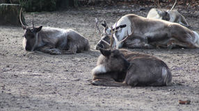 Reindeer group Royalty Free Stock Photos