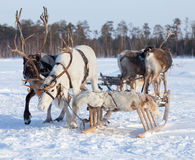 Reindeer in harness Royalty Free Stock Photo