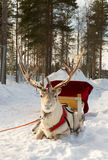 Reindeer in harness Stock Photos