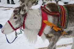Reindeer in harness prepared for the sled