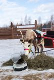 Reindeer harnessed in a cart and black rabbit Stock Image