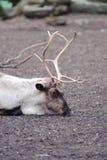 Reindeer has rest. Reindeer in zoo having a rest Royalty Free Stock Image
