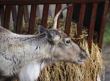 Reindeer head broken antler Stock Image