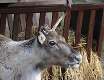 Reindeer head broken antler. Reindeer with broken antlet. Foto taken in landgoed hoenderdaell Royalty Free Stock Photos