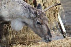 Reindeer head broken antler. Reindeer with broken antlet. Foto taken in landgoed hoenderdaell Stock Image