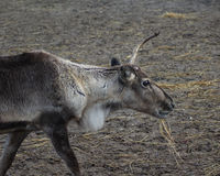 Reindeer head broken antler Stock Image