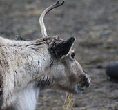 Reindeer head broken antler. Reindeer with broken antlet. Foto taken in landgoed hoenderdaell Royalty Free Stock Photo