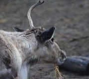 Reindeer head broken antler. Reindeer with broken antlet. Foto taken in landgoed hoenderdaell Stock Images