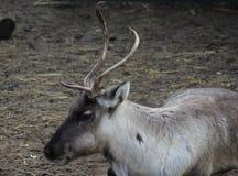 Reindeer head. Reindeer with broken antlet. Foto taken in landgoed hoenderdaell Royalty Free Stock Photos