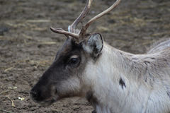 Reindeer head. Reindeer with broken antlet. Foto taken in landgoed hoenderdaell Stock Photos