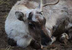 Reindeer head Stock Image