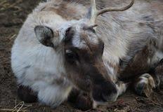 Reindeer head. Reindeer with broken antlet. Foto taken in landgoed hoenderdaell Stock Image