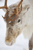 Reindeer head close up. In Lapland, Finland royalty free stock images