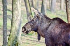 Reindeer Head Closeup in Forest Rangifer Tarandus Fennicus stock photos