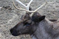 Reindeer head. Male Reindeer seaching for food. Foto taken in Ouwehands zoo in Rhenen Royalty Free Stock Photo