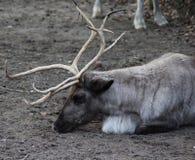 Reindeer head. Male Reindeer seaching for food. Foto taken in Ouwehands zoo in Rhenen Royalty Free Stock Image