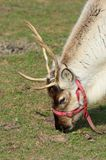 Reindeer Head Stock Photos