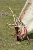 Reindeer Head. Young Reindeer feeding on grass Stock Photos