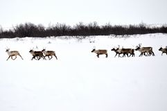Reindeer Herd. Being driven to their summer pastures. This happened on the ice road between Tuktoyaktuk and Inuvik, Northwest Territories, Canada stock photos