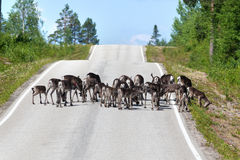 Reindeer herd crossing country road in Lapland Royalty Free Stock Images