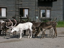 Reindeer herd. Gathered near an hotel in Lappish tundra, Pallas, Finland Stock Images