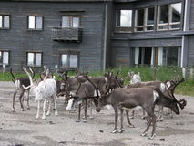 Reindeer herd. Gathered near a wooden hotel in Lappish tundra, Pallas, Finland Stock Photo