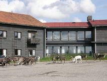 Reindeer herd. Gathered near a wooden hotel in Lappish tundra, Pallas, Finland Stock Image
