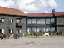 Reindeer herd Stock Image
