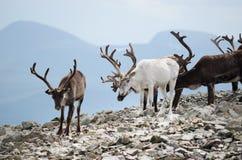 Reindeer Herd Royalty Free Stock Images