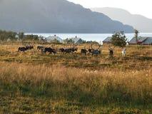 Reindeer herd on a meadow. Herd of wild animals in Norway. Typical view in Scandinavia Stock Photos