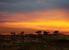 Reindeers in Lapland midnight sun. Reindeer herd resting on fell top in Lapland midnight sun royalty free stock photo