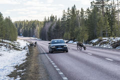 Reindeer herd on the road Sweden Royalty Free Stock Photos