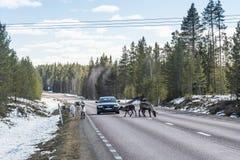 Reindeer herd on the road Sweden Stock Photo