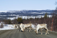 Reindeer herd on the road Sweden Royalty Free Stock Photo