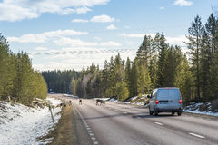 Reindeer herd on the road Sweden Royalty Free Stock Image