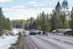 Reindeer herd on the road Sweden Stock Photo