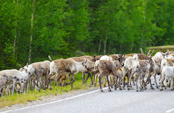Reindeer herd rushing side of the road. Reindeer side of main road in Lapland, Finland Royalty Free Stock Images