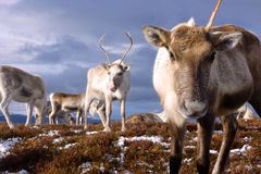 Reindeer herd in Scotland. Reindeer roaming free in the Cairngorm mountains, Scotland Stock Photos