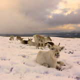 Reindeer herd in Scotland. Reindeer roaming free in the Cairngorm mountains, Scotland Royalty Free Stock Photos