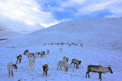 Reindeer herd in Scotland. Reindeer roaming free in the Cairngorm mountains, Scotland Stock Photography
