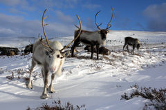 Reindeer herd in Scotland. Reindeer roaming free in the Cairngorm mountains, Scotland Stock Image