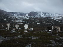Reindeer herd in Scotland. Reindeer roaming free in the Cairngorm mountains, Scotland Stock Images