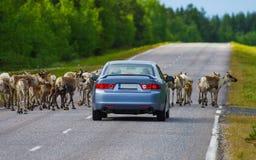Reindeer herd is stopping the car. Reindeer herd is stopping the var in Lapland, Finland Stock Photos