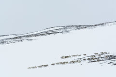 Reindeer herd wintertime Sweden Stock Photos