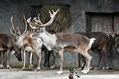 Reindeer. Herd of reindeer in zoo Royalty Free Stock Photography