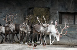 Reindeer. Herd of reindeer in zoo. In front little ducks Stock Photography