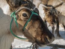 Reindeer on herder's holiday Stock Image