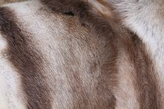 Reindeer hide Stock Photo